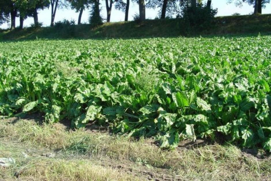 Plantatorzy buraków cukrowych dostaną rekompensaty