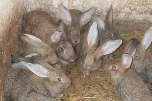 Niskie ceny mięsa z królików skutkują bankructwem wielu ferm