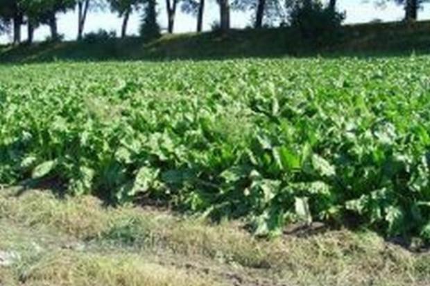 KZPBC: W 2009 r. zrealizujemy w pełni kwotę produkcyjną dla cukru
