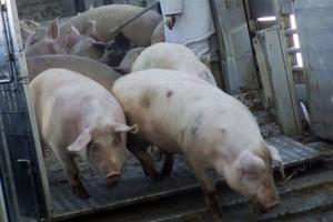 Podejrzenie świńskiej grypy we Francji
