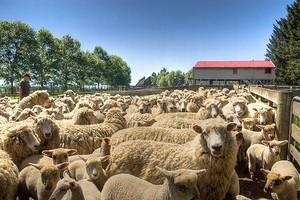 Spada produkcja mięsa owczego i jagnięcego w krajach UE