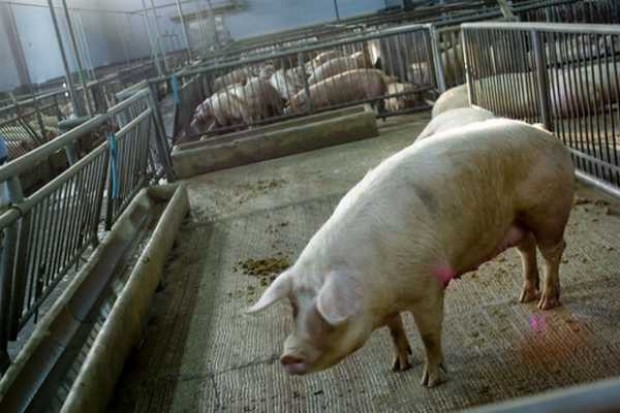 Świnie zdrowieją po nowej grypie