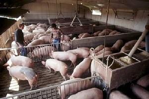 Pogłowie świń najniższe od 40 lat