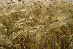 Ceny zbóż na świecie będą spadać