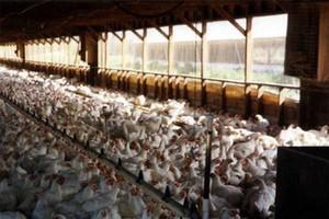 Droga wieprzowina i wołowina zwiększają zapotrzebowanie na tańszy drób