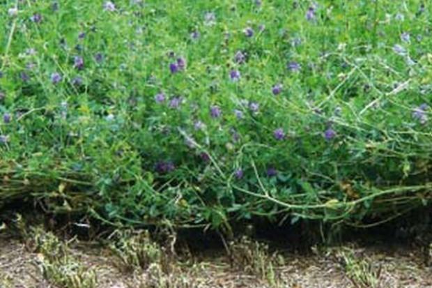 Zakładamy plantację lucerny