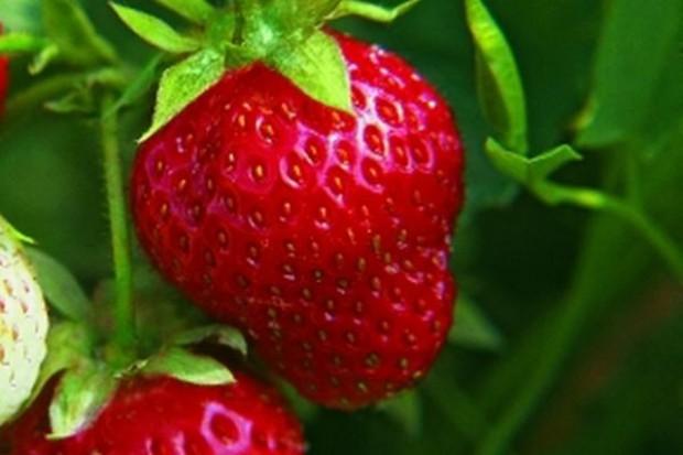 Duże zbiory truskawek, niższa cena niż w 2008 r.