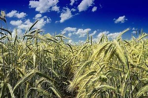 IERiGŻ: Ceny zbóż spadną w III kw., pod koniec roku wzrosną