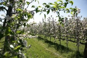 Przez przymrozki zbiory owoców będą znacznie niższe niż w 2008 roku