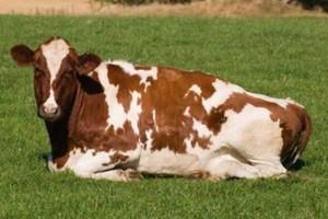 Spadek produkcji wołowiny w Irlandii