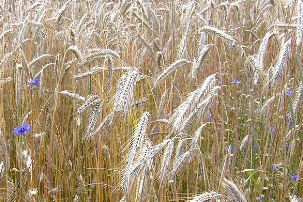Notowania cen zbóż w większości województw spadają