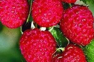Trwa skup owoców przez zakłady przetwórcze, deszcze obniżyły jakość surowca