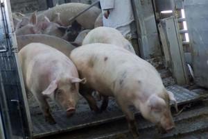 Rozdrobnienie produkcji trzody chlewnej w Polsce
