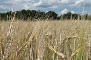 IGC: W Polsce produkcja pszenicy sięgnie 8,7 mln ton