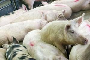 Unia Europejska eksportuje mniej wieprzowiny