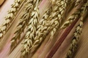 Ceny zbóż w dalszym ciągu spadają