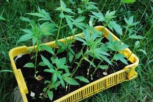 250 roślin konopi indyjskich w przydomowym ogródku