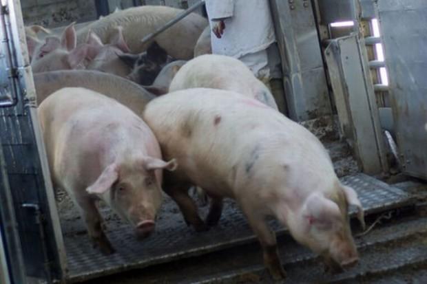 Rosja nie wpuściła na swój rynek świń z Polski i Danii