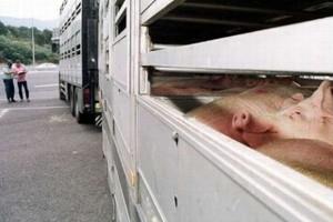 W ciągu pół roku Polska wysłała do Rosji zaledwie 13 ciężarówek z wieprzowiną!