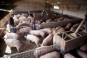 Radojewice: W gigantycznym pożarze fermy zginęło około 4 tys. świń