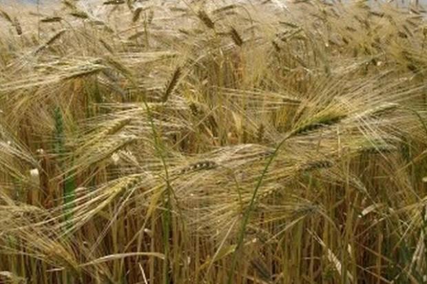 Krajowe ceny zbóż nie zmieniły się w ciągu minionego tygodnia