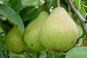 Napad stulecia: w jedną noc ukradli z sadów pół tony gruszek