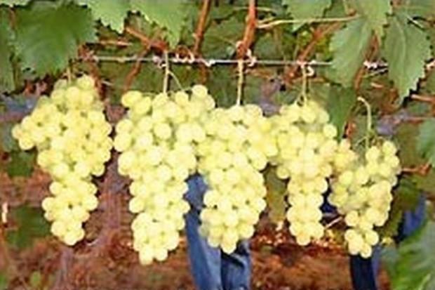 Polsce przybędzie nowy dostawca winogron z RPA