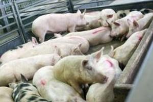 Pożar w chlewni w województwie wadowickim, 150 świń padło ofiarą halnego i ognia