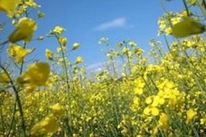 Ceny nasion rzepaku, oleju i makucha pozostają niższe niż przed rokiem