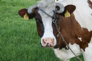 Wołowina z Polski konkuruje z irlandzkim mięsem na rynku hiszpańskim