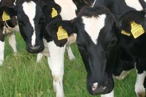 Jemy mięso ze sklonowanych krów
