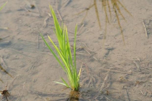 Rosja zanotowała rekordowe zbiory ryżu