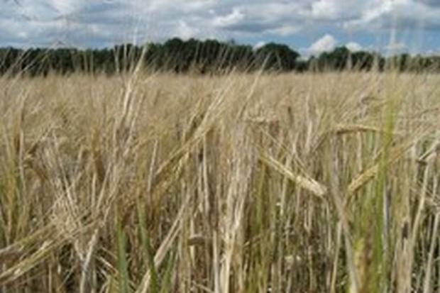 Niższa prognoza zbiorów zbóż