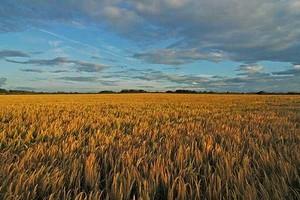 Notowania cen kukurydzy trzymają się mocno