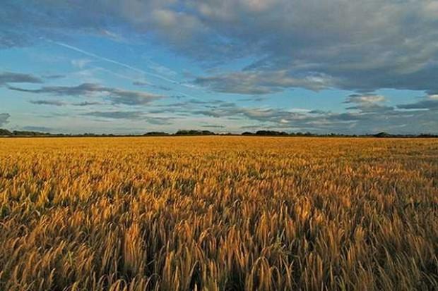 Powierzchnia uprawy większości zbóż się obniży