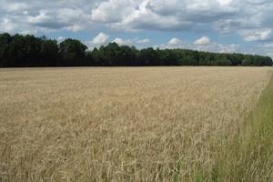 Zbiory zbóż ozimych w 2010 r. mogą być równie wysokie jak w 2009 r.