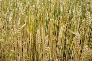 Resort rolnictwa: W styczniu rosną ceny zbóż