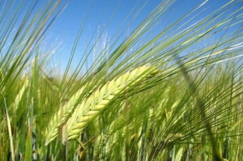 Strategie Grains: W Polsce zmaleją zbiory jęczmienia. Podaż w UE będzie zaś rosła