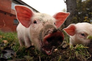 Świnia jako grzywna za cudzołóstwo w Malezji