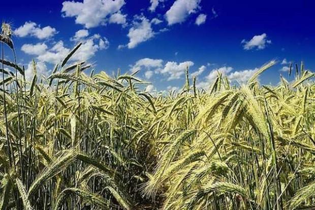 Ceny zbóż w kraju pozostają stabilne