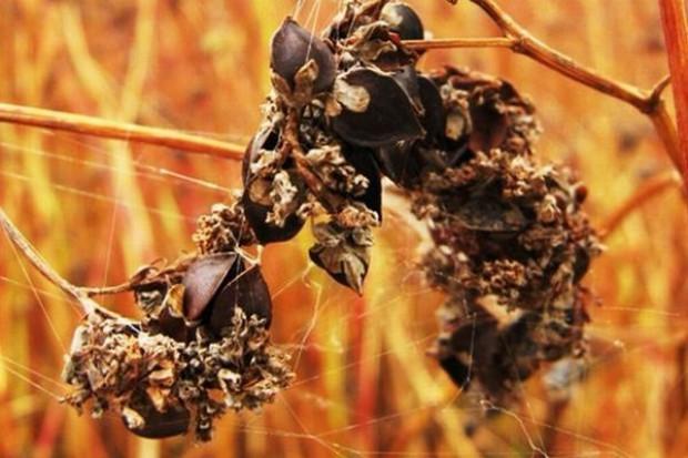 Dramatyczna sytuacja producentów kaszy gryczanej - ceny surowca gwałtownie wzrosły