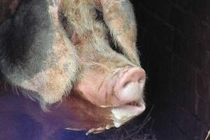 Rośnie zagrożenie klasycznym pomorem świń
