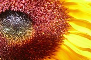 Gwałtownie rośnie import śruty słonecznikowej - coraz więcej kupuje branża energetyczna