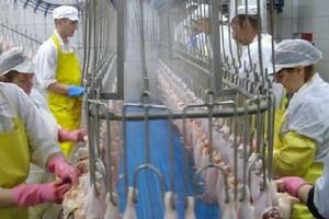 W 2009 r. polscy producenci drobiu wysłali za granicę produkty za za 649,2 mln euro