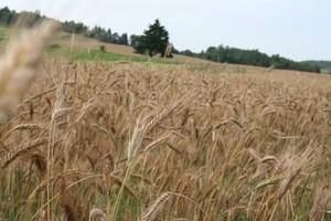 Osłabły tendencje spadkowe na krajowym rynku zbóż paszowych
