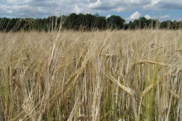 Wzrost cen zbóż możliwy dopiero w maju i czerwcu