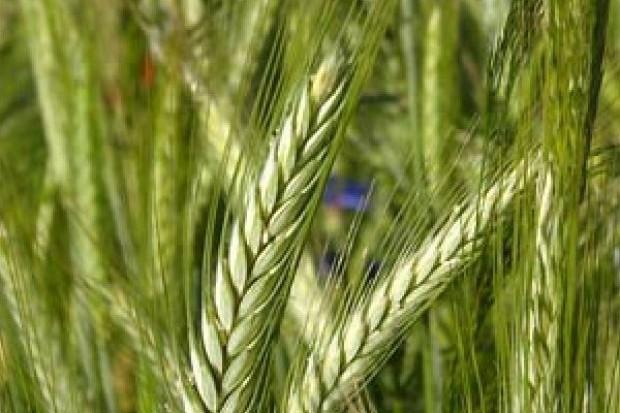 Rabobank obniżył prognozy globalnych zbiorów pszenicy
