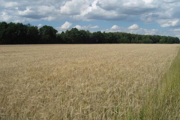 Niewielkie wzrosty cen zbóż na przełomie miesiąca