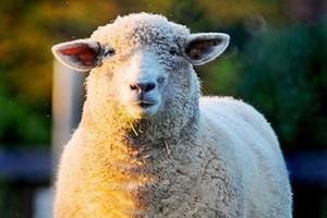 Spada pogłowie owiec w krajach UE