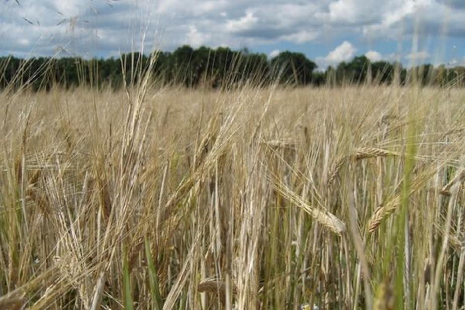 Na początku maja odnotowano wzrosty cen zbóż